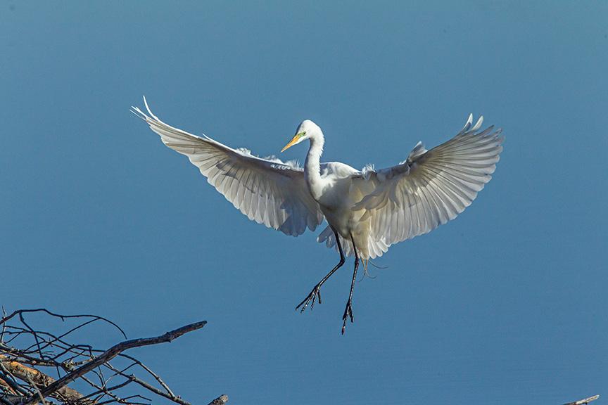 great egret cf v1_43G0814