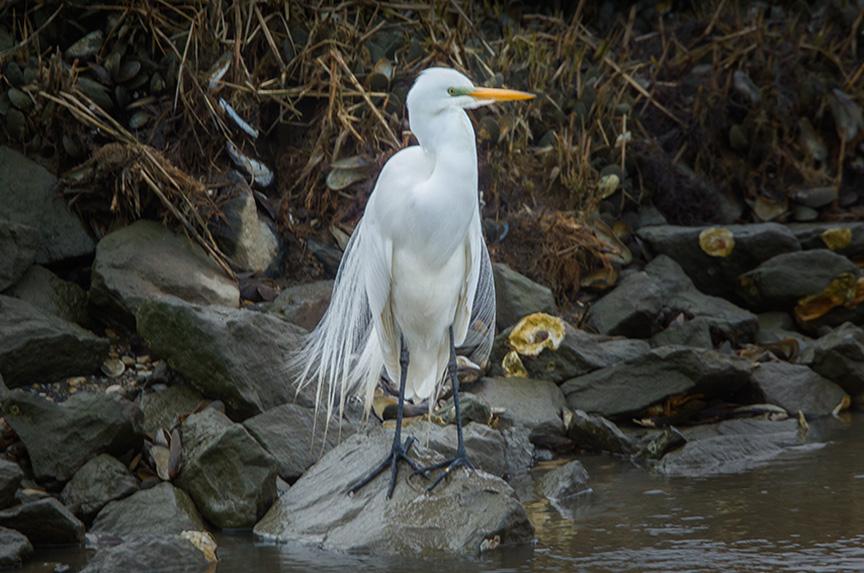 great egret v1 brig_43G8141