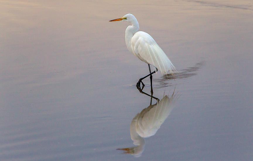 great egret v2 brig_43G7888