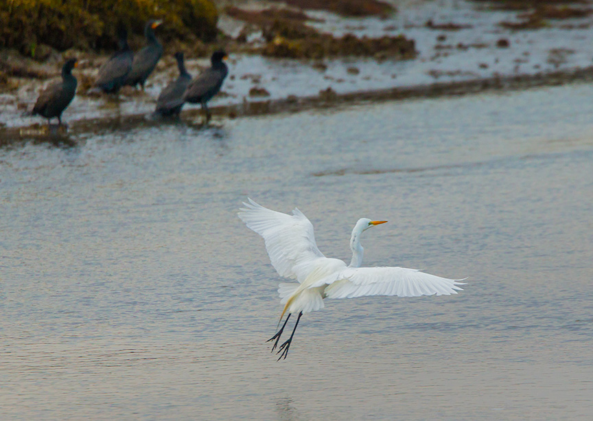 Great Egret v2 brig_43G7941