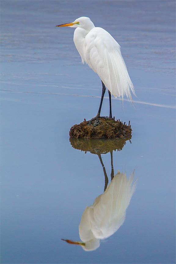 great egret v3 brig_43G8012