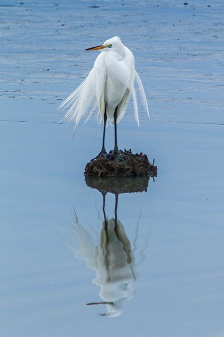 Great Egret v3 brig_43G8049