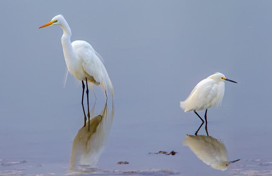 Great & Snowy Egret v2 brig_43G7899