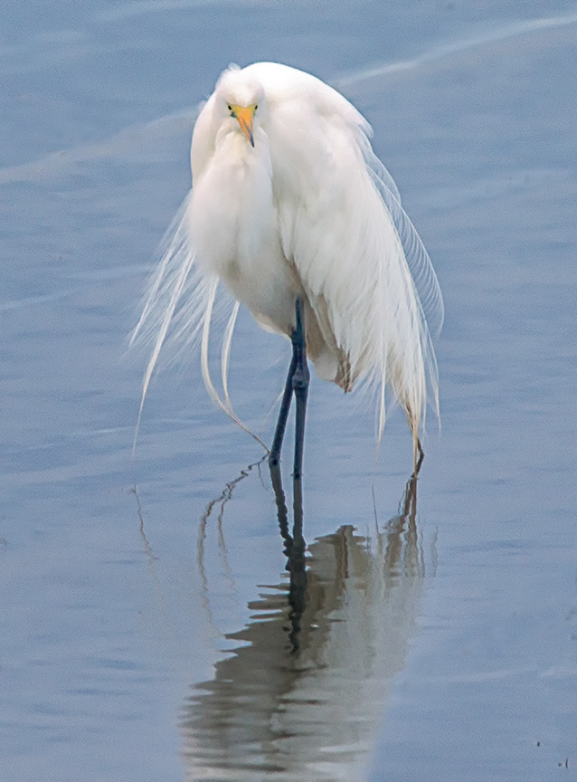 GreatEgret Breeding Plumage v4 HP Vertbrig_43G8216