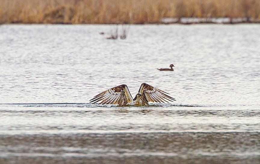 _MG_5369 cf osprey dive v3