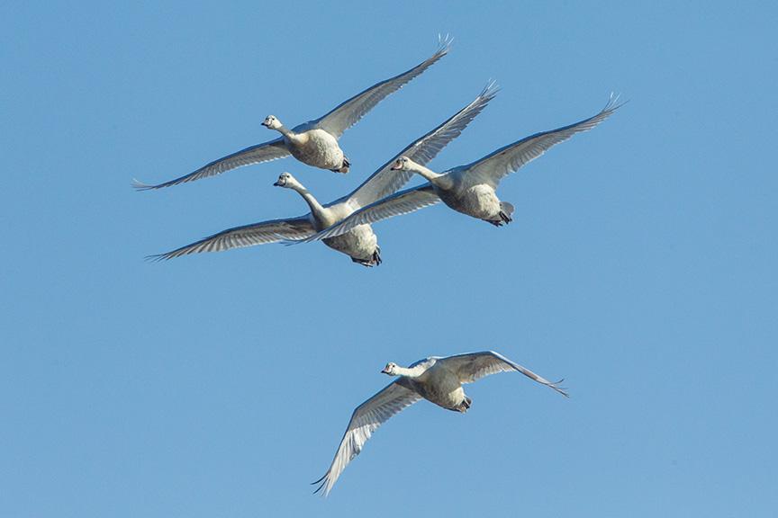 mute swans v1 cf_43G0878