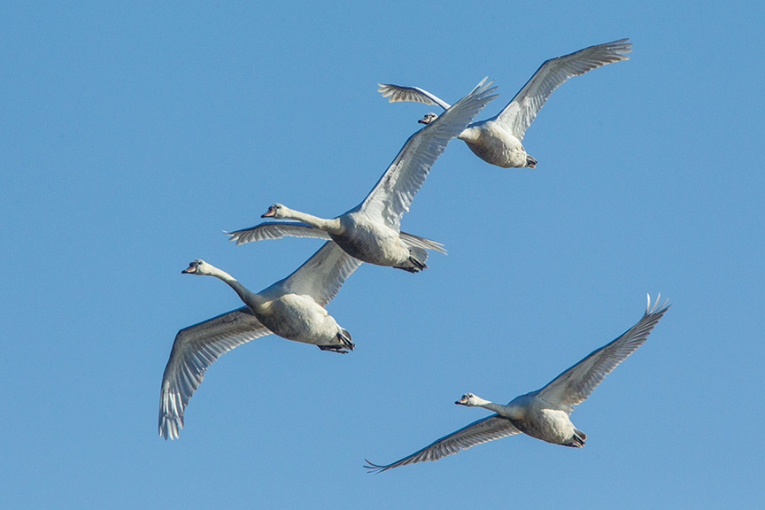 mute swans v1 cf_43G0883