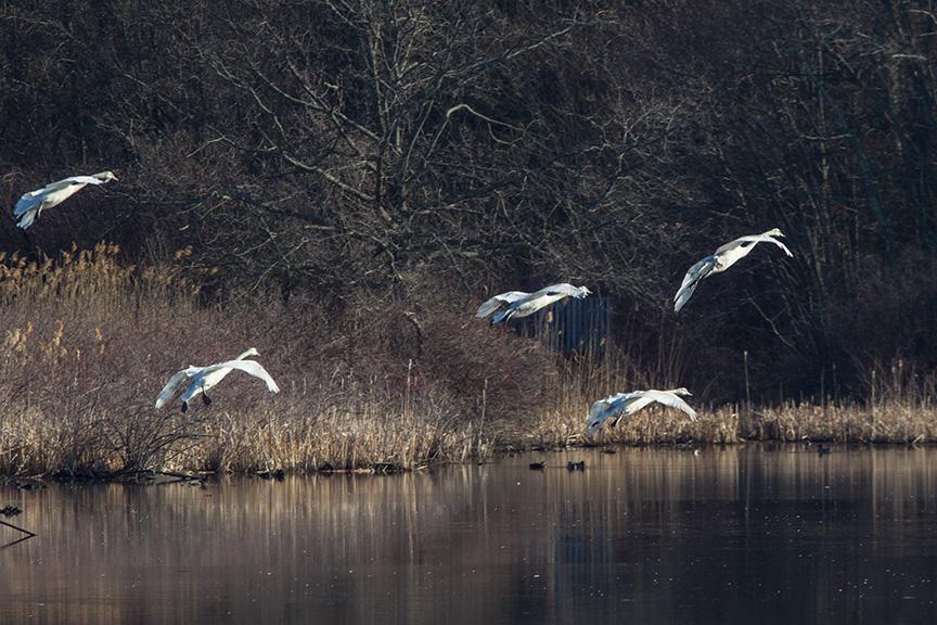 mute swans v1 cf_43G0921