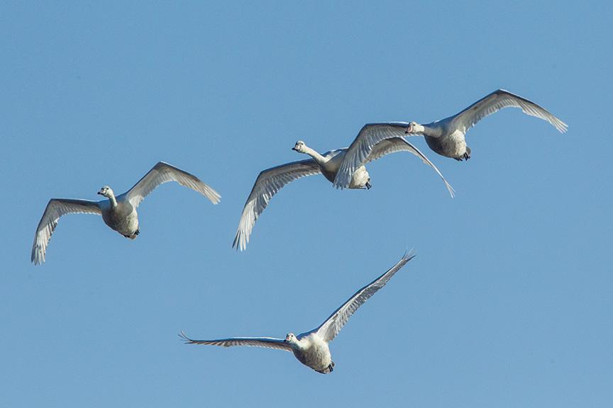 mute swans v2 cf_43G0871