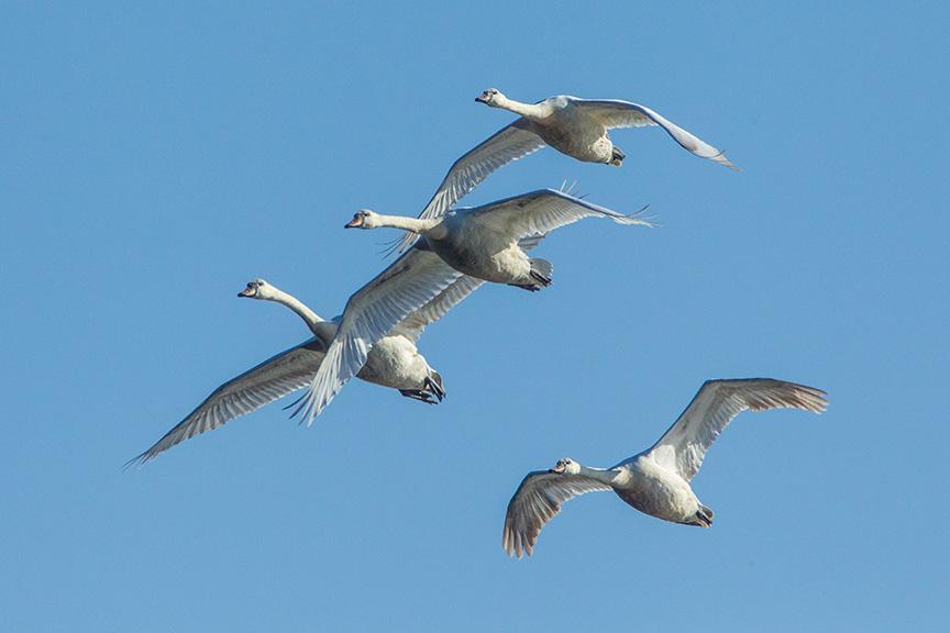 mute swans v2 cf_43G0882