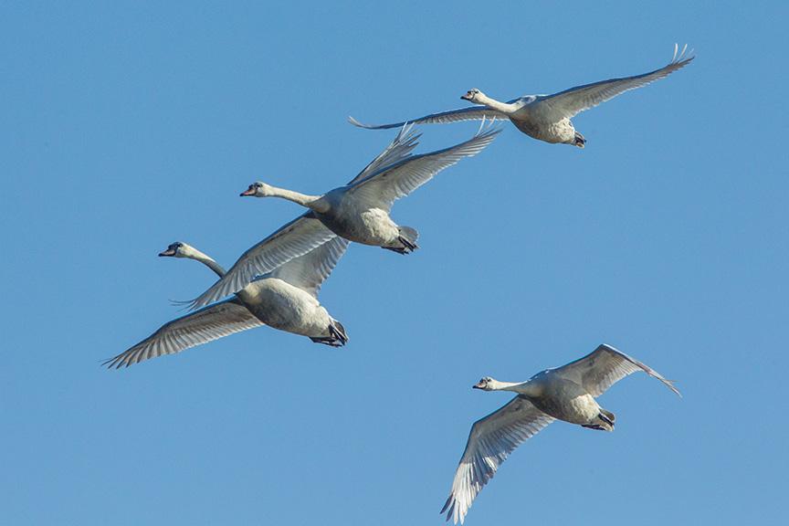 mute swans v2 cf_43G0884