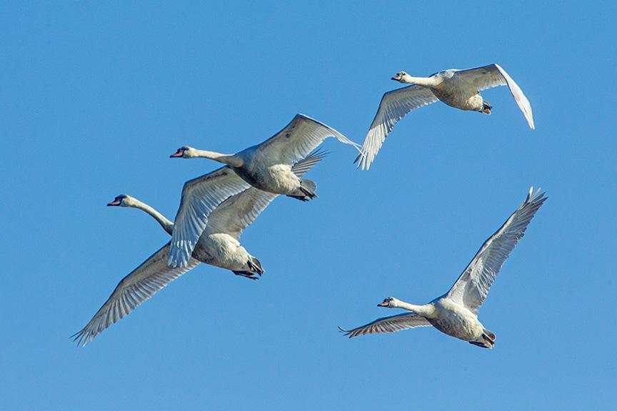mute swans v2 cf_43G0885