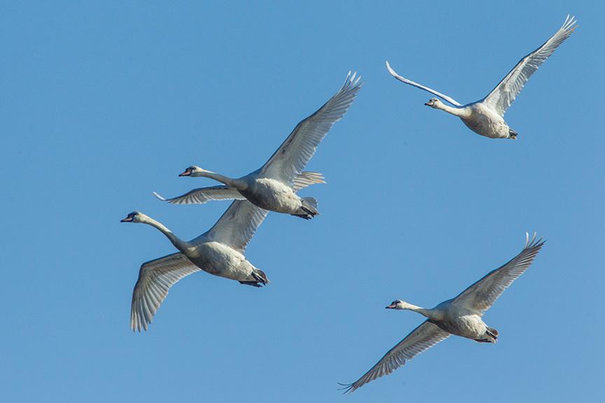 mute swans v2 cf_43G0886