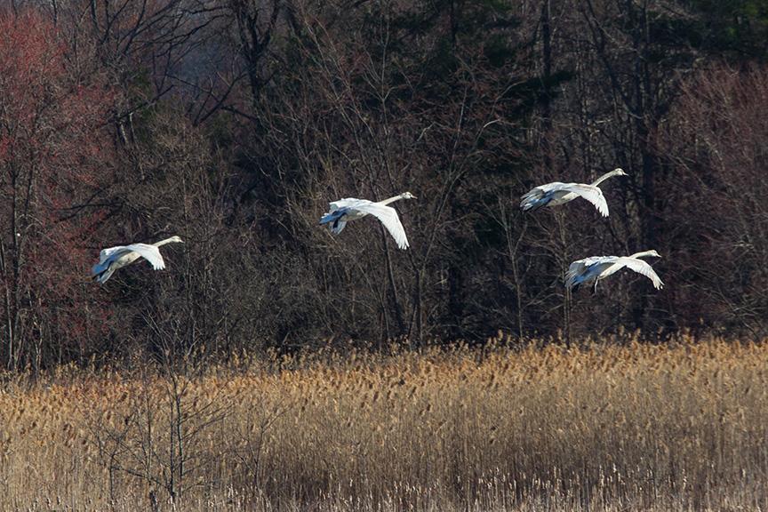 mute swans v2 cf_43G0908