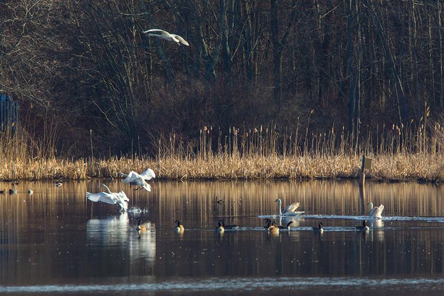 mute swans v2 cf_43G0933