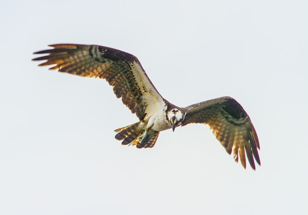Osprey cf v1_MG_5335