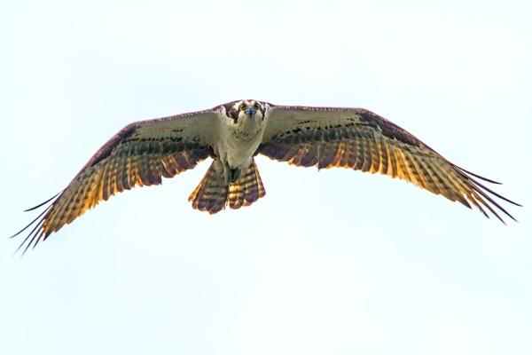 Osprey cf v2_MG_5160