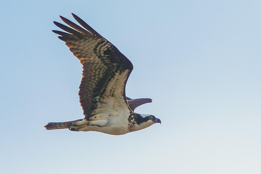 Osprey female brig v2_43G9156