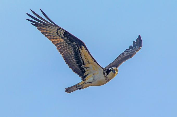 Osprey female Brig v3_43G9152
