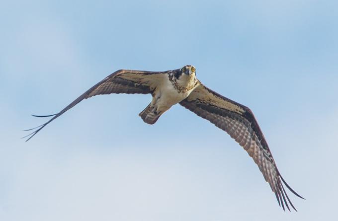 osprey female v3_43G9150