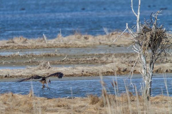 osprey fish brig v2_MG_5955