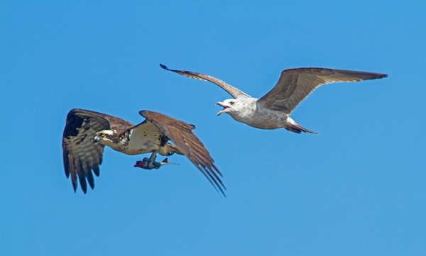osprey gull brig v1_MG_5892 v1