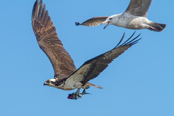 osprey gull brig v2_MG_5895