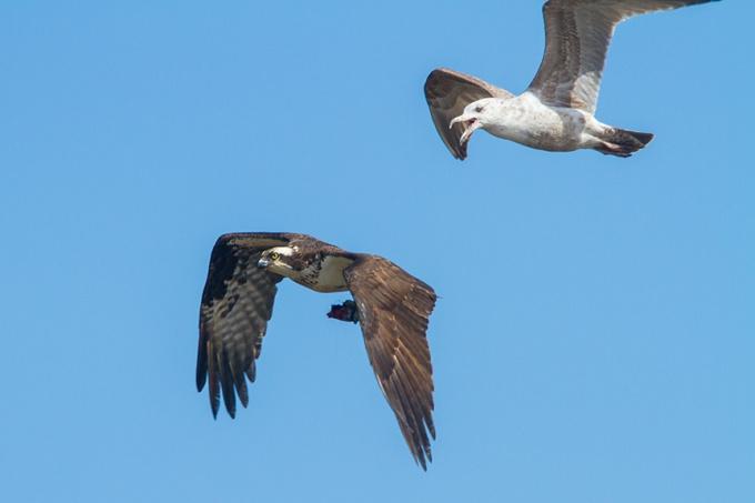 osprey gull brig_v2 MG_5894