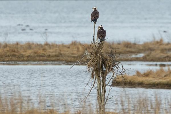 osprey nest brig v1_43G9785