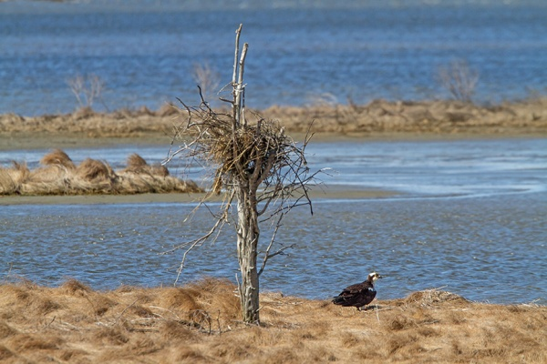 osprey nest brig v1_MG_5982