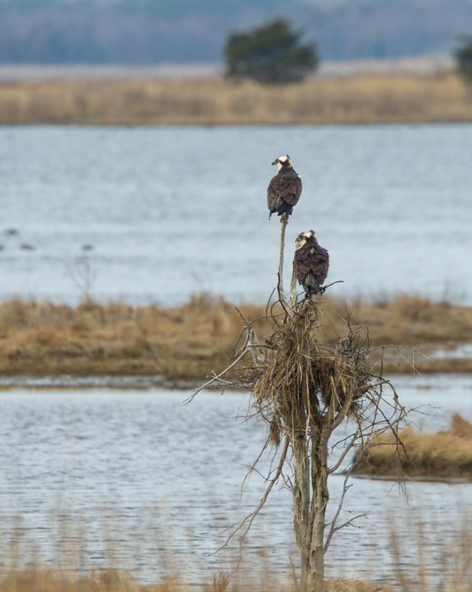 osprey nest brig v2_43G9785