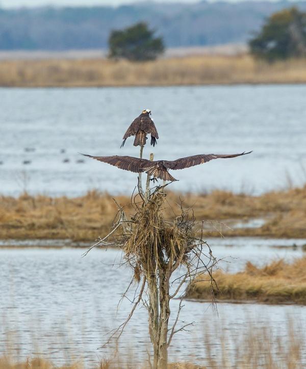 Osprey nest brig v2_43G9826