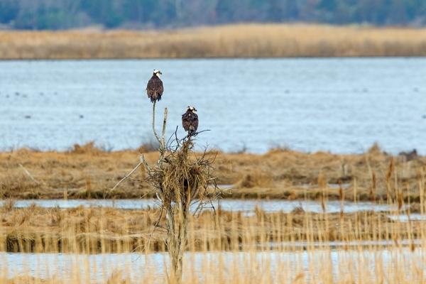 osprey nest brig v3_43G9735