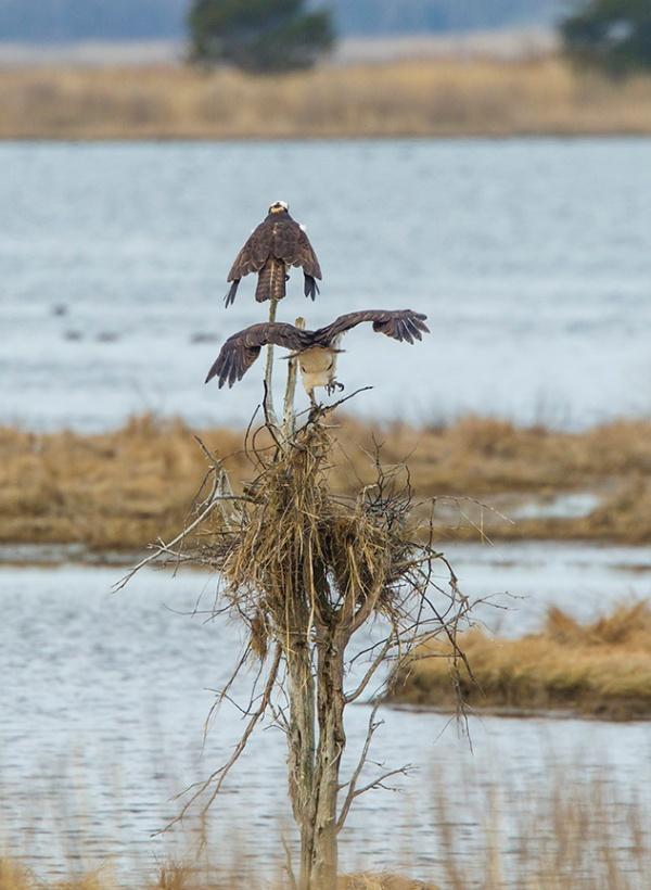 osprey nest brig_43G9822