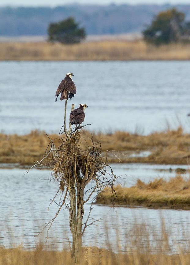 osprey nest brig_v3 43G9809