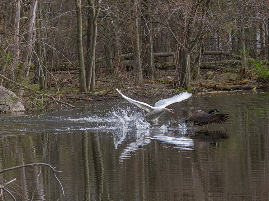 Swan McF v2 2015_1290279