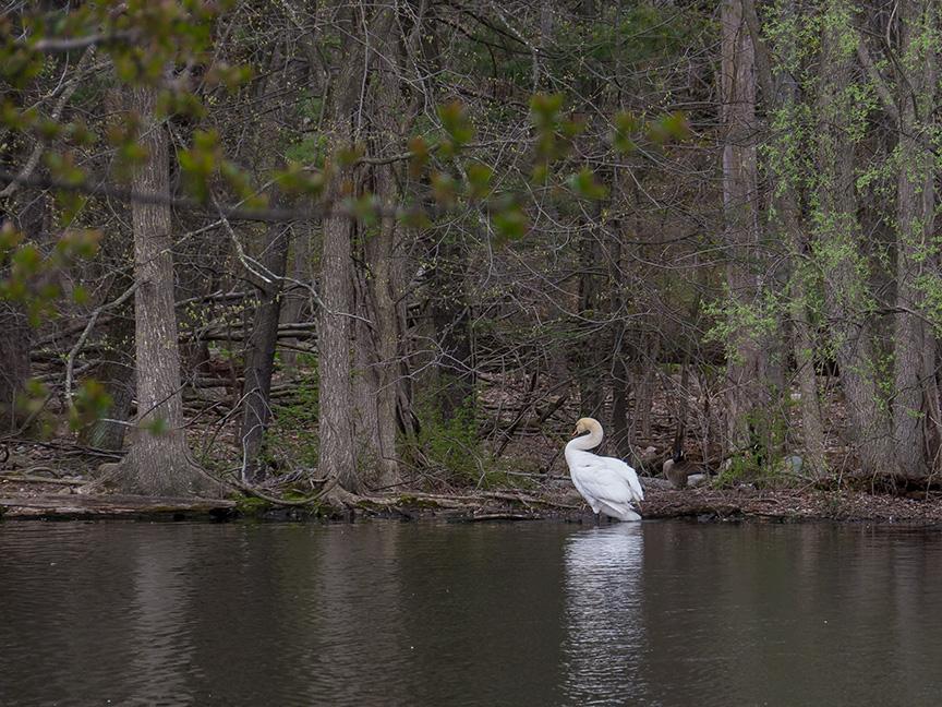 Swan v2 McFaul_1290248