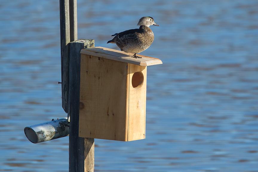 wood duck female cf 2015 _v2_43G1208
