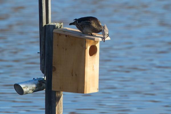 wood duck female v2 43G1211
