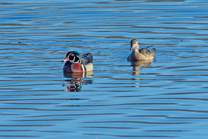 Wood duck Pair Cf v3_43G1219