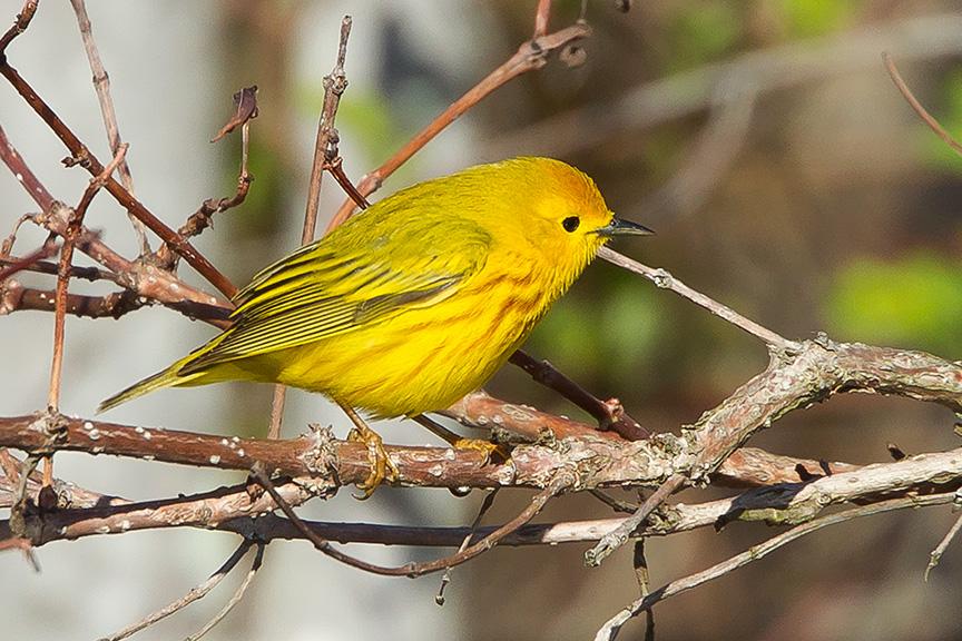 Yellow Warbler cf v2 2015_43G1380