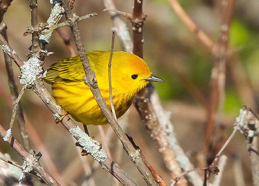 Yellow Warbler cf v2 2015_43G1384