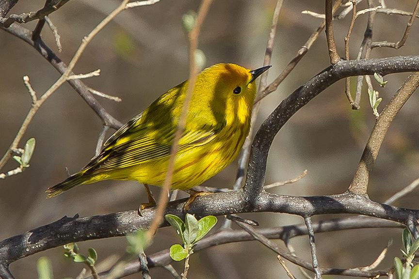 yellow warbler cf v2 2015_43G1386