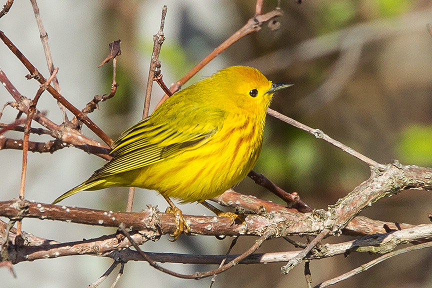 yellow warbler v1_43G1377-2