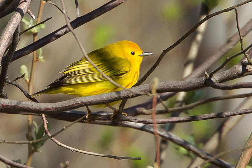 Yellow Warbler v2 cf 2015_43G1414