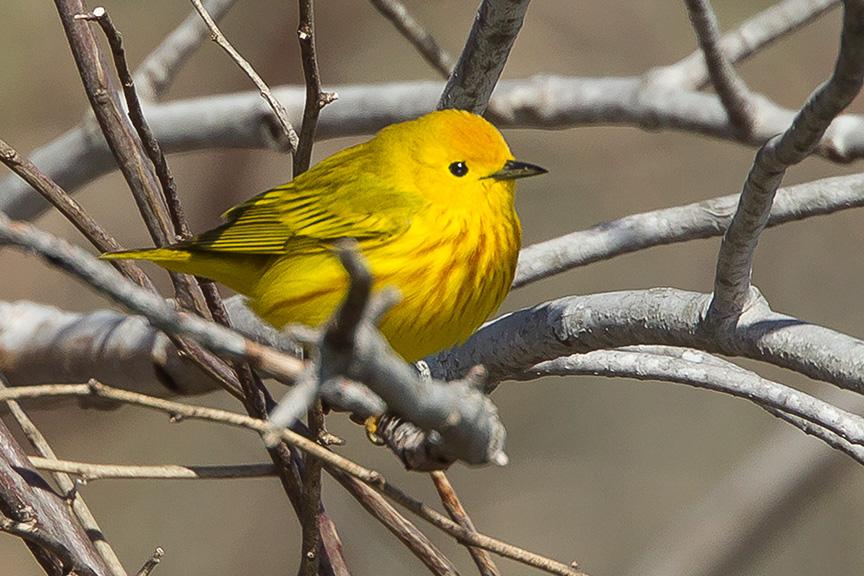 Yellow Warbler v2 cf 2015_43G1424