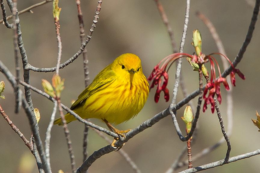 Yellow Warbler v2 cf 2015_43G1428