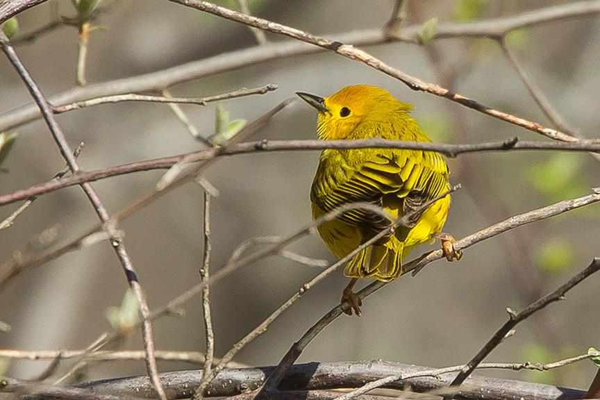 Yellow Warbler v2 cf_43G1410