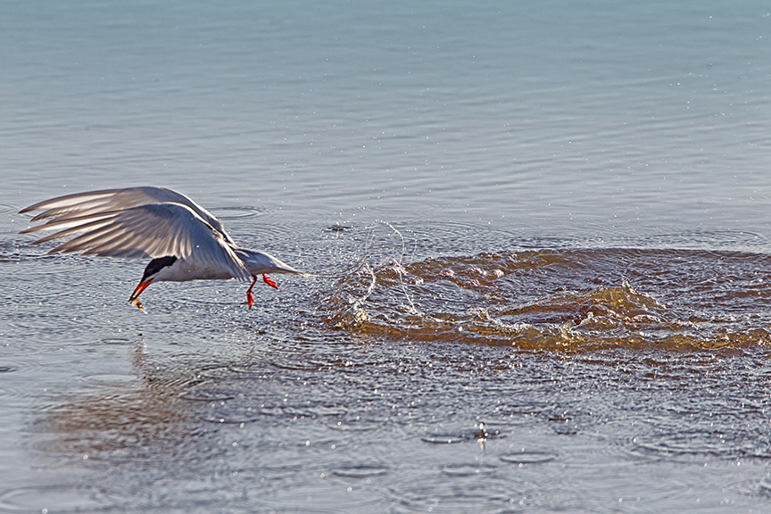_43G0493 Brig Common Tern v3