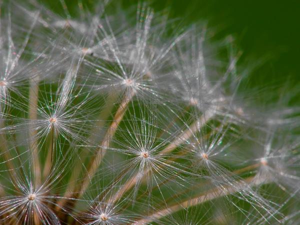 Dandelion v1_1310355 no stack